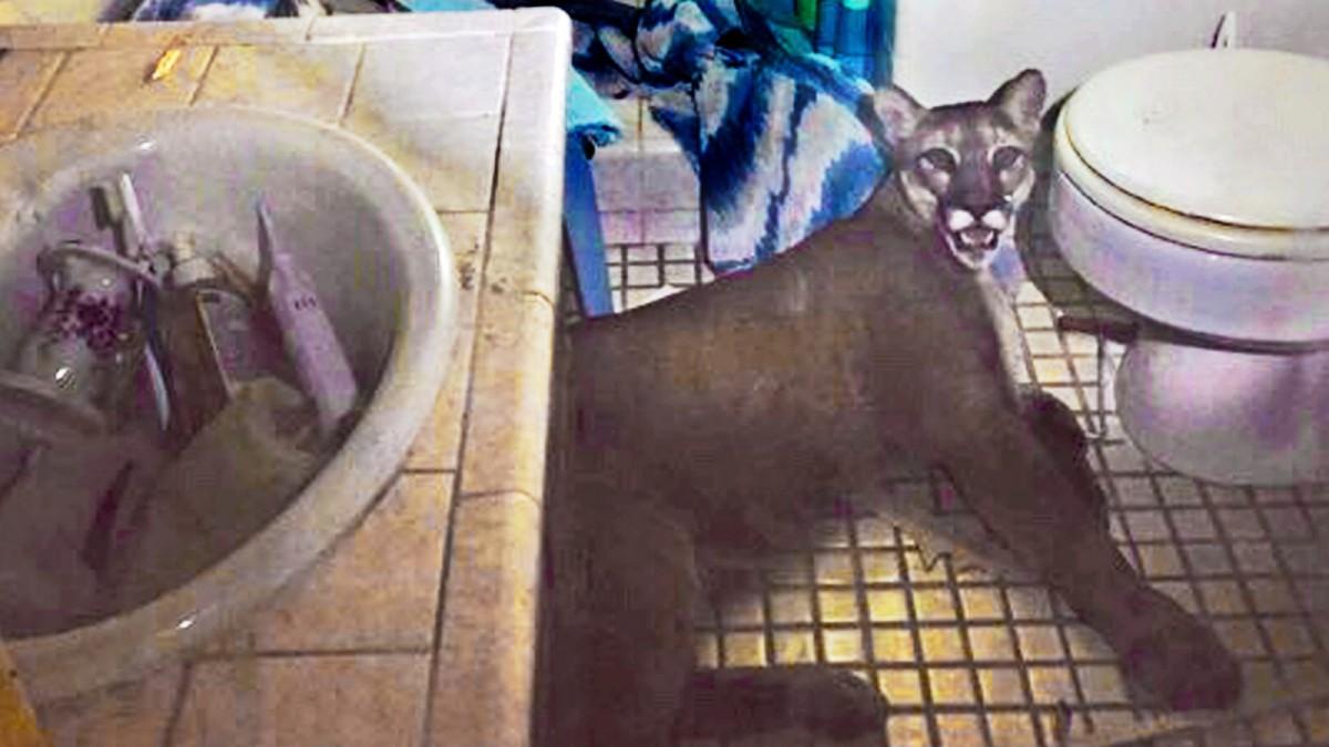 Puma im Badezimmer