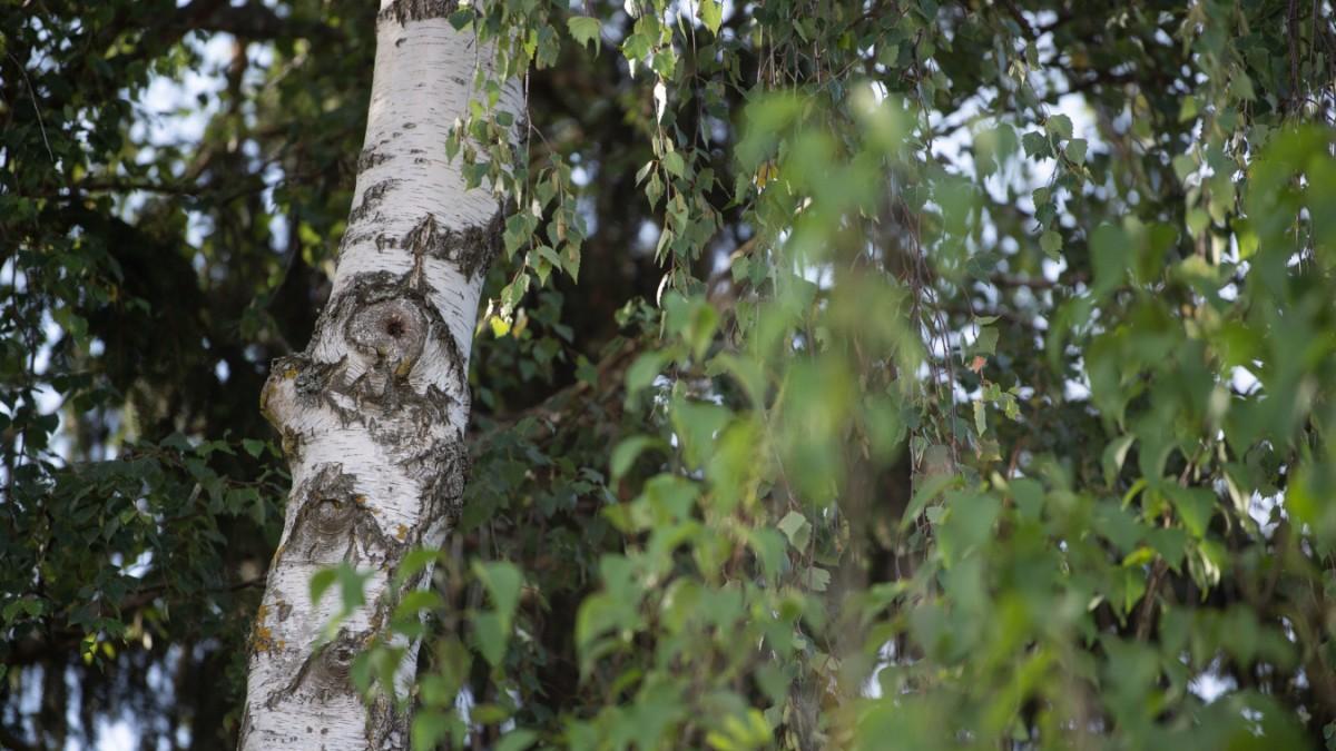 Bundesgerichtshof rettet drei Birken