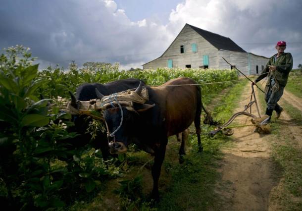 Kuba führt wegen Spritmangels wieder Ochsen auf den Feldern ein