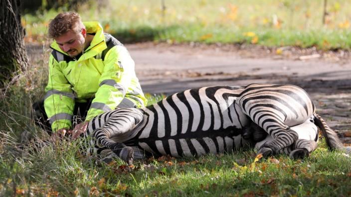 Zebra-Tod: Polizei und Feuerwehr bemühen sich um Aufklärung