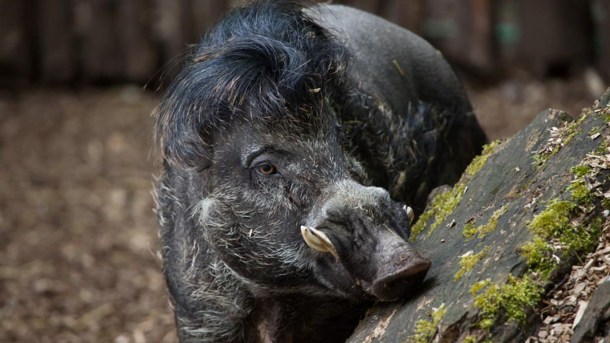 Schweine bei der Arbeit