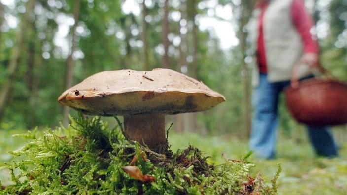 33 Jahre nach Tschernobyl: Wildpilze in Bayern noch radioaktiv