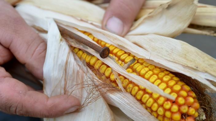 Ein Nagel im Maiskolben.