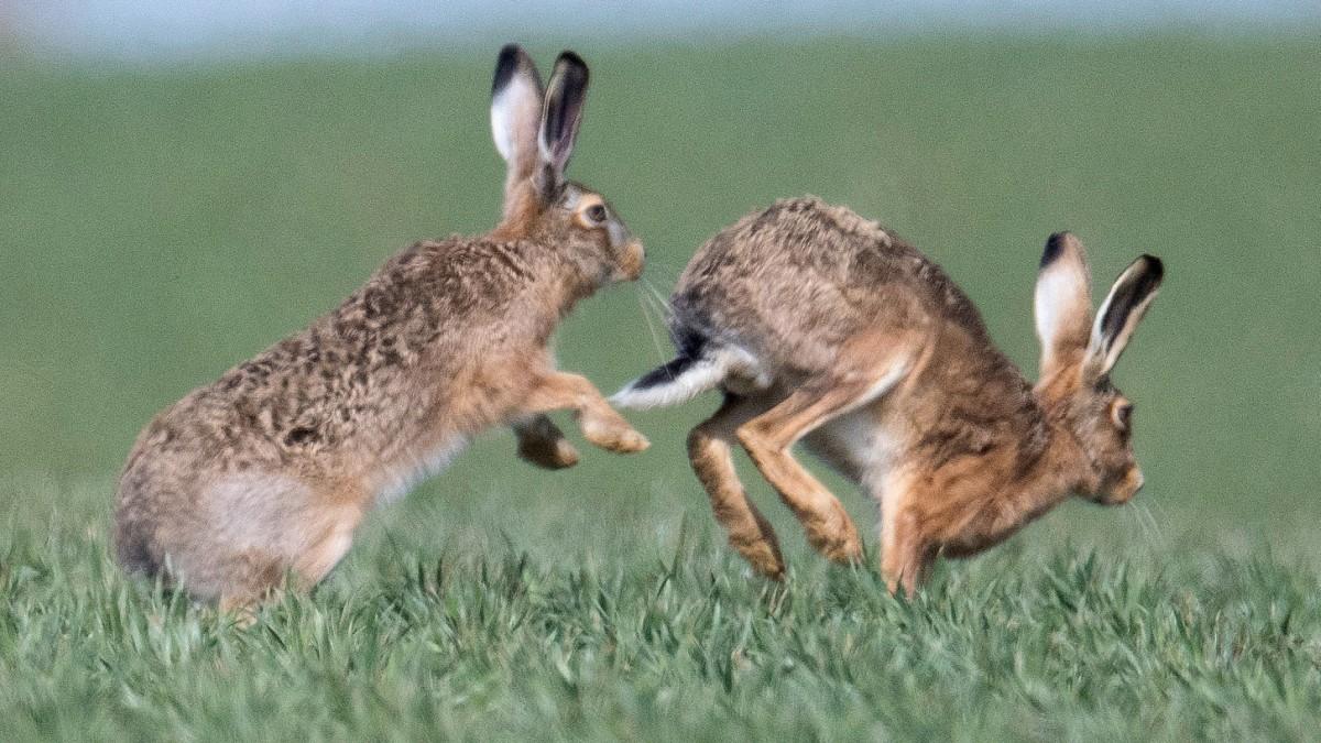 Jäger warnen vor Hasenpest