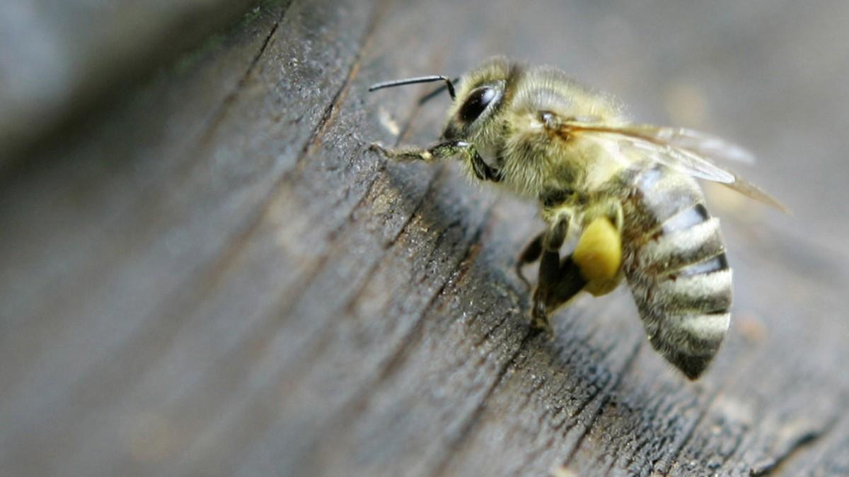 Tiere in Australien: Betrunkene Bienen häufen sich