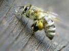 2014-01-15T071037Z_1433371930_GM1EA1F160G02_RTRMADP_3_AUSTRALIA-BEE-SENSOR