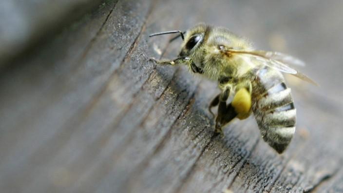 Australien: Betrunkene Bienen stürzen vor Parlament ab