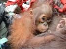 Mutter und Kind gerettet: Orang-Utans wieder zuhause (Vorschaubild)