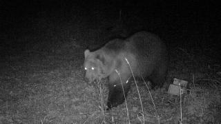 Wildtierkamera dokumentiert Bär in Bayern