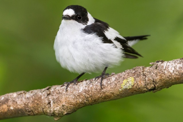 Collared Flycatcher Ficedula albicollis male Bavaria Germany PUBLICATIONxINxGERxSUIxAUTxONLY Ral