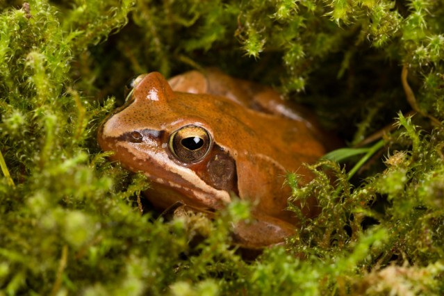 Frog sitting in ambush on green moss It s a spring frog Rana dalmatina PUBLICATIONxINxGERxSUIxA
