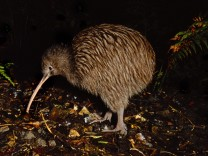 Brown kiwi Apteryx australis New Zealand PUBLICATIONxINxGERxSUIxAUTxHUNxONLY