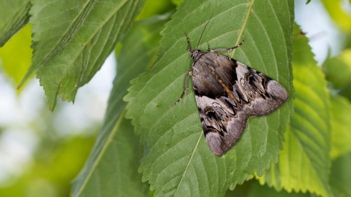 Gelbes Ordensband (Catocala fulminea), sitzt auf eine Blatt, Deutschland yellow underwing (Catocala fulminea), sits on a