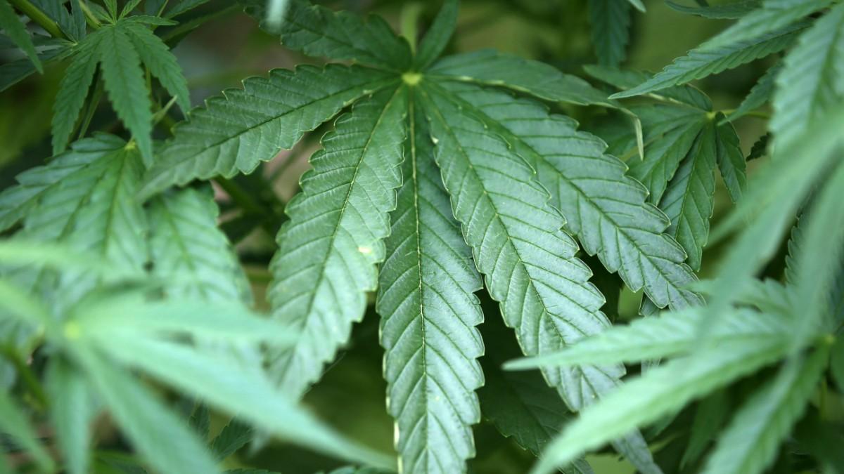 Sechs Jahre Haft für Marihuanageschäfte auf Reiterhof