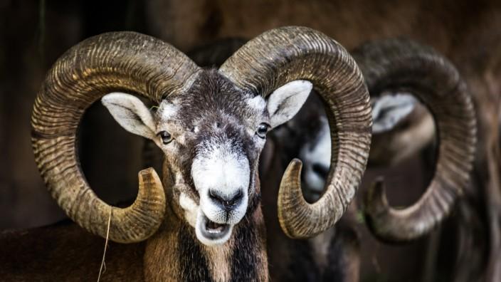 Mufflons - den Wildschafen droht das Aus