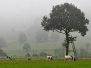 kühe auf weide ; ddp