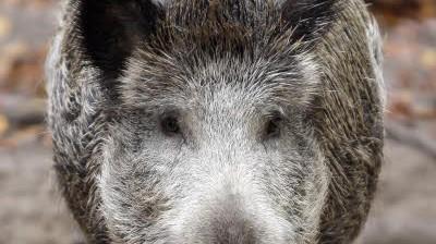 Wildschweinplage im Donau-Ries