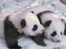 Traumhafte Namen für die Berliner Panda-Buben (Vorschaubild)