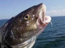 28 07 2005 Wismar Mecklenburg Vorpommern DEU Kopf eines Dorsches Ostseedorsch Fisch Dorsch