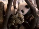 Pandas in Berlin erkunden neues Spielzeug (Vorschaubild)