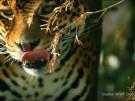 Elefant, Jaguar, Hai: Mehr Schutz für wandernde Tierarten (Vorschaubild)