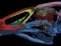 Three-dimensional image of the skull of the world's oldest modern bird, Asteriornis maastrichtensis. The fossil is 66.7 million years old and is close to the most recent common ancestor of duck-like birds and chicken-like birds.