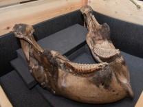 Forschungsmuseum Schöningen - Waldelefanten-Skelett