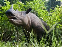 Sumatran rhinoceros - standing in forest (Dicerorhinus sumatrensis). Way Kambas National Park, Lampung Province, souther