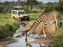 Masai giraffe Giraffa tippelskirchi drinks from puddle near safari truck Serengeti National Park