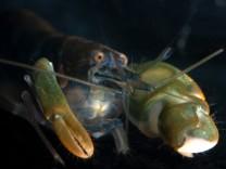 Knallkrebs (Spezies Alpheus heterochaelis)