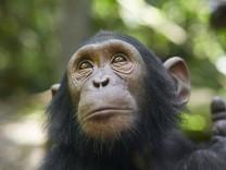 Cameroon, Pongo-Songo, Close-up of Chimpanzee (Pan troglodytes) VEGF02199