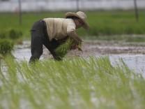 Reisanbau in Kambodscha