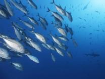 Schwarm Großaugen-Makrelen (Caranx sexfasciatus), davor Grauer Riffhai (Carcharhinus amblyrhynchos), Indischer Ozean, Ma