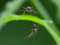 Viele Mücken in diesem Sommer