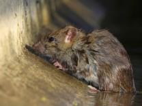 Wanderratte, Wander-Ratte (Rattus norvegicus), in der Kanalisation, Oesterreich Brown rat, Common brown rat, Norway rat