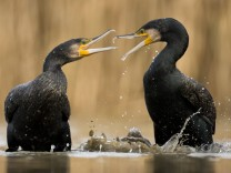 Two Cormorants (Phalacrocorax carbo) squabbling, Lake Csaj, Kiskunsagi National Park, Pusztaszer, Hungary. PUBLICATIONx