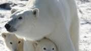 Eisbären, Jagd, Kanada, Inuit, Eisbärenfell