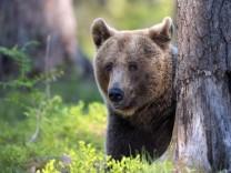 Europaeischer Braunbaer, Braunbaer, Braun-Baer (Ursus arctos arctos), an einem Baumstamm, Portraet, Finnland, Karelien,