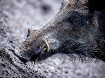 Schweinepest: Wildschweinkadaver notfalls per 112 melden