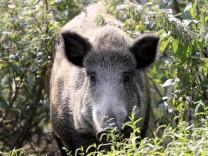 WILDSCHWEIN WILDSCHWEINE Afrikanische Schweinepest in Deutschland am 11.09.2020 in Duesseldorf Wildpark *** Feral pigs