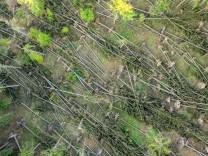 Sturmschäden im Taunus 21.05.2020, Glashütten (Hessen): Zahlreiche umgestürzte Fichten liegen nahe des Glaskopfs im Wald