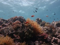 Great Barrier Reef's large corals in steep decline
