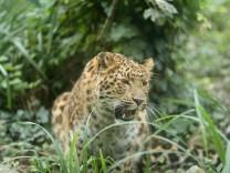 Artenschutz: Die Leoparden kommen