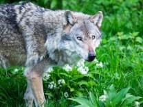 Niedersachsen: Wolf soll ins Jagdrecht aufgenommen werden