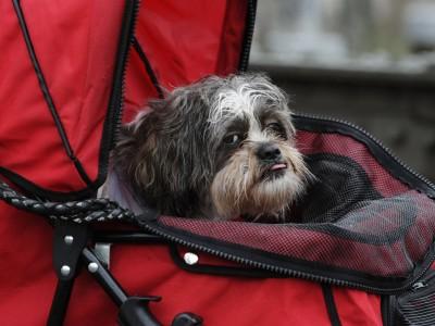 Hund im Kinderwagen: Gassi fahren