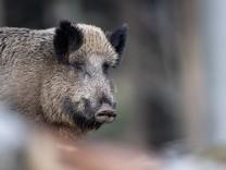 Nordrhein-Westfalen: Geht ein Wildschwein ins Kaufhaus