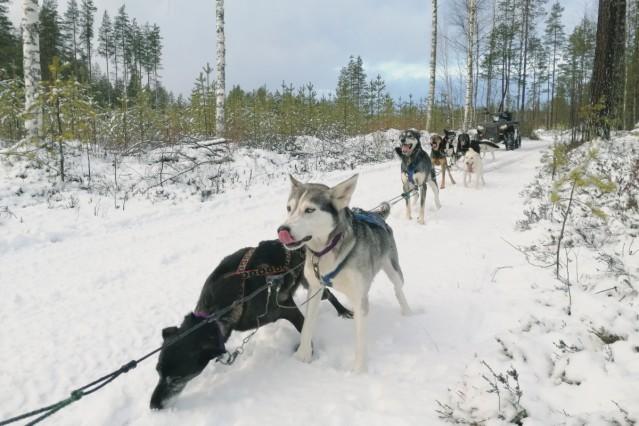 Huskyfarm in Finnland