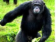 Schimpanse Chef