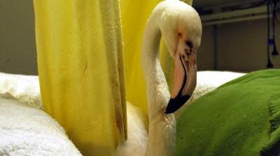 Ältester Flamingo der Welt