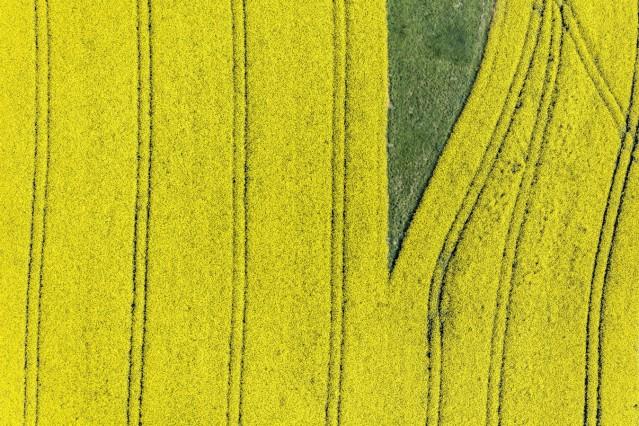 Luftaufnahme von einer grünen Insel im blühenden Rapsfeld